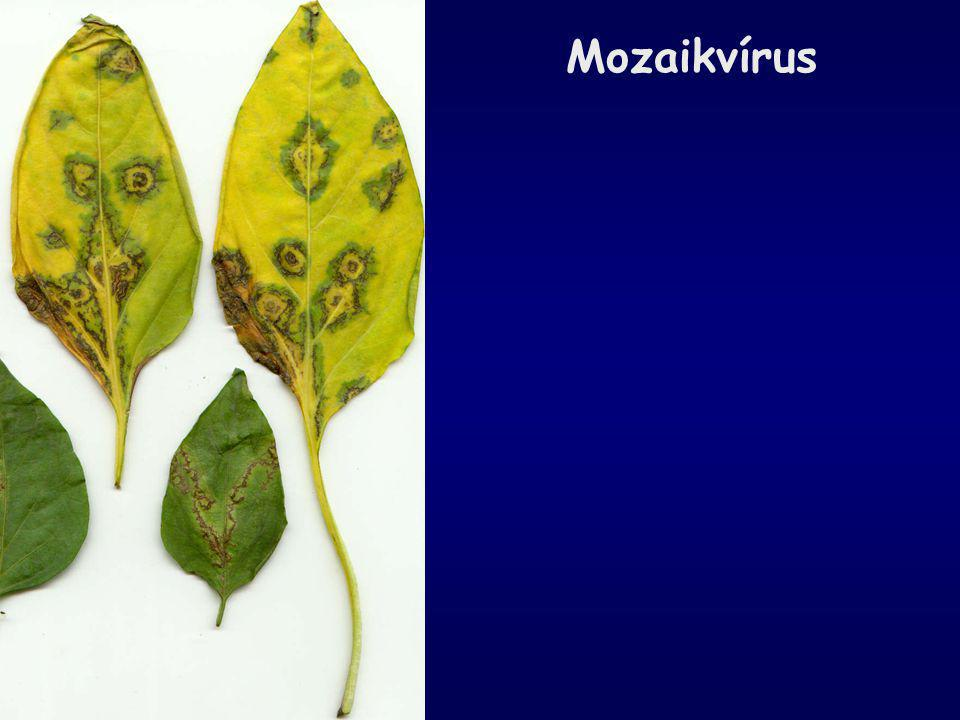 Mozaikvírus tünete termésen
