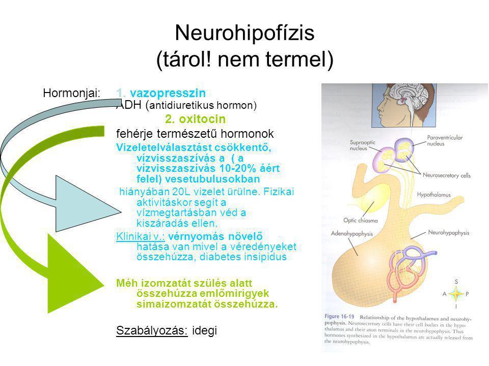 Neurohipofízis (tárol! nem termel) Hormonjai: 1. vazopresszin ADH ( antidiuretikus hormon) 2. oxitocin fehérje természetű hormonok Vizeletelválasztást