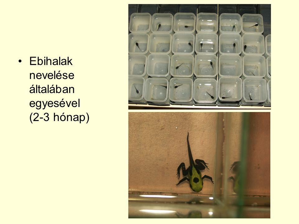 Ebihalak nevelése általában egyesével (2-3 hónap)