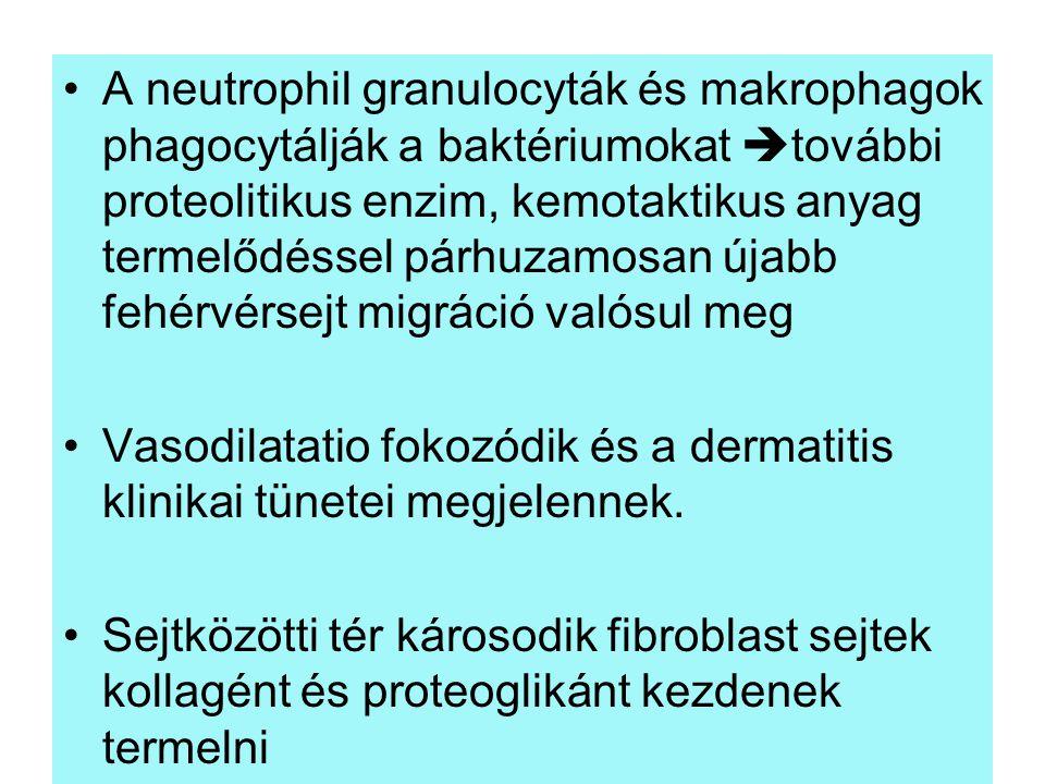 A neutrophil granulocyták és makrophagok phagocytálják a baktériumokat  további proteolitikus enzim, kemotaktikus anyag termelődéssel párhuzamosan új