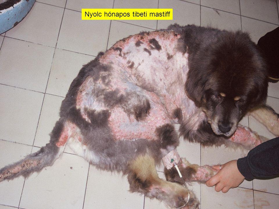 Nyolc hónapos tibeti mastiff