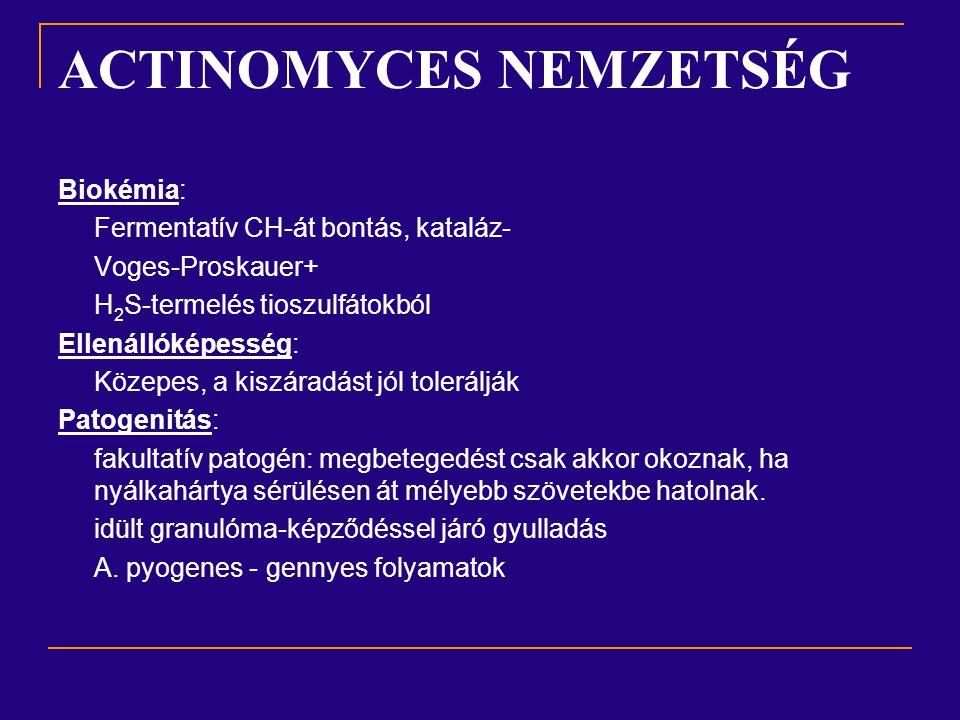 Actinomyces pyogenes (korábban Corynebacterium ) 0,5-2  m pálcika szaporodásához natív fehérjét igényel, pontszerű szürke telepek véresagaron  -hemolízis fehérjebontás, tejet megalvasztja, majd az alvadékot elfolyósítja hemolizáló, nekrotizáló exotoxin  Ea fakultatív patogén, gennykeltő Előfordulása tartáshigiéniai hibákra utal Szm-ban leggyakrabban MMA-szindróma képében fordul elő, sertésekben a fertőzés kapuja lábvég, vagy a farok, ahol lokális gennyes gyulladás alakul ki.