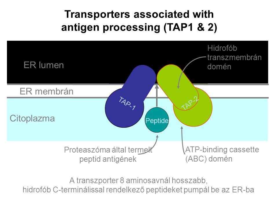 ER membrane Lumen of ER Cytosol Transporters associated with antigen processing (TAP1 & 2) A transzporter 8 aminosavnál hosszabb, hidrofób C-terminálissal rendelkező peptideket pumpál be az ER-ba TAP-1 TAP-2 Peptide TAP-1 TAP-2 Peptide TAP-1 TAP-2 Peptide TAP-1 TAP-2 Peptide TAP-1 TAP-2 Peptide TAP-1 TAP-2 Peptide TAP-1 TAP-2 Peptide TAP-1 TAP-2 Peptide TAP-1 TAP-2 Peptide TAP-1 TAP-2 Peptide ER membrán ER lumen Citoplazma TAP-1 TAP-2 Peptide ATP-binding cassette (ABC) domén Hidrofób transzmembrán domén Proteaszóma által termelt peptid antigének