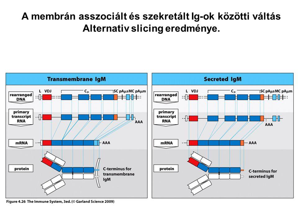 A membrán asszociált és szekretált Ig-ok közötti váltás Alternativ slicing eredménye.