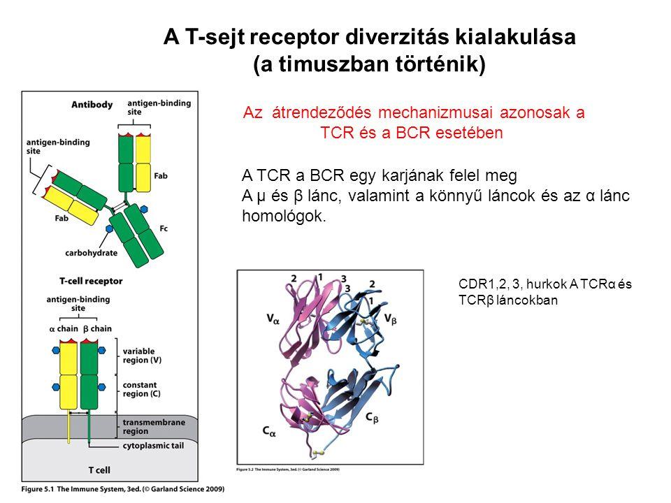A T-sejt receptor diverzitás kialakulása (a timuszban történik) A TCR a BCR egy karjának felel meg A μ és β lánc, valamint a könnyű láncok és az α lán