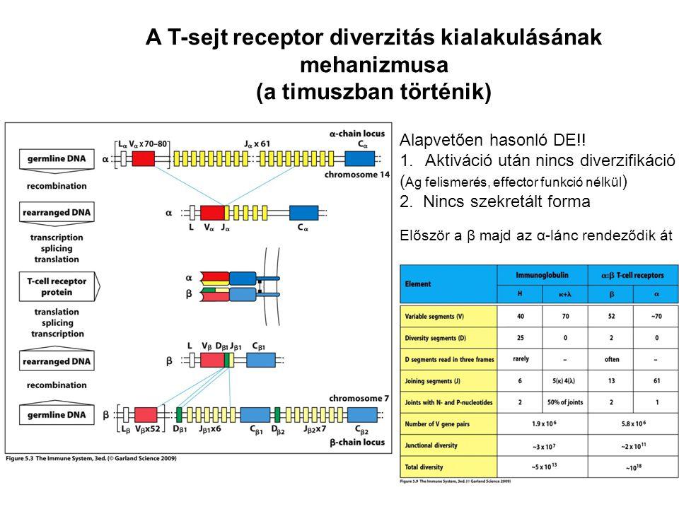 A T-sejt receptor diverzitás kialakulásának mehanizmusa (a timuszban történik) Alapvetően hasonló DE!! 1.Aktiváció után nincs diverzifikáció ( Ag feli