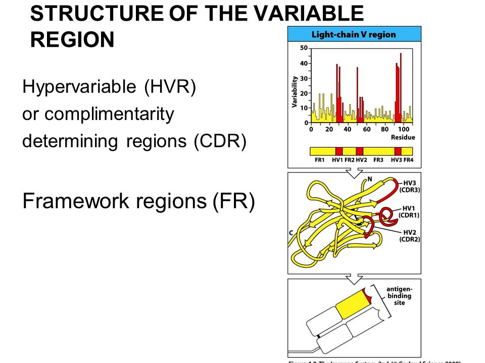 STRUCTURE OF THE VARIABLE REGION Hypervariable (HVR) or complimentarity determining regions (CDR) Framework regions (FR)