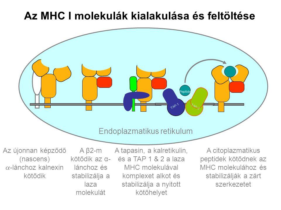 Endoplazmatikus retikulum Az újonnan képződő (nascens)  -lánchoz kalnexin kötődik TAP-1 TAP-2 Peptide TAP-1 TAP-2 Peptide TAP-1 TAP-2 Peptide TAP-1 T