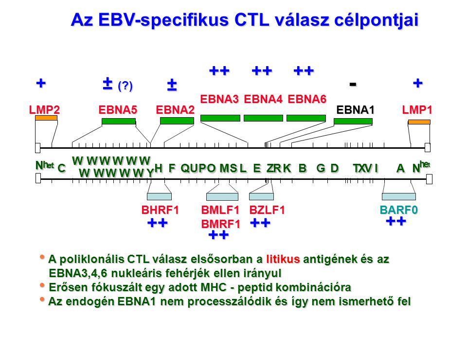 Az EBV-specifikus CTL válasz célpontjai A poliklonális CTL válasz elsősorban a litikus antigének és az A poliklonális CTL válasz elsősorban a litikus