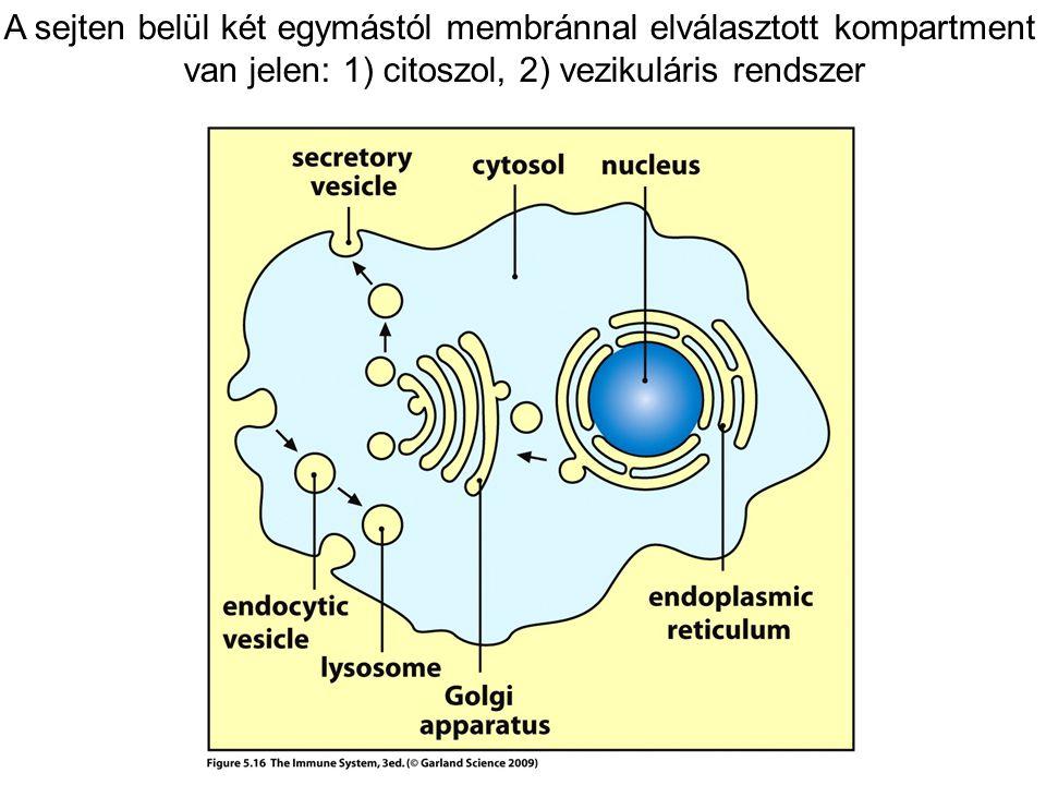 A sejten belül két egymástól membránnal elválasztott kompartment van jelen: 1) citoszol, 2) vezikuláris rendszer