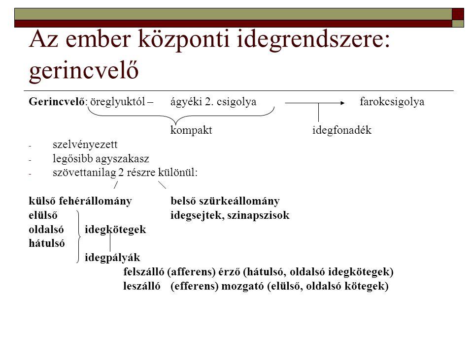 Az ember központi idegrendszere: gerincvelő Gerincvelő: öreglyuktól – ágyéki 2.
