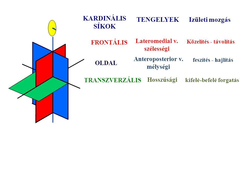 Az emberi test kardinális síkjai A súlyponton mennek át és egymásra merőlegesek Frontális Szagitális v. oldal Tanszverzális