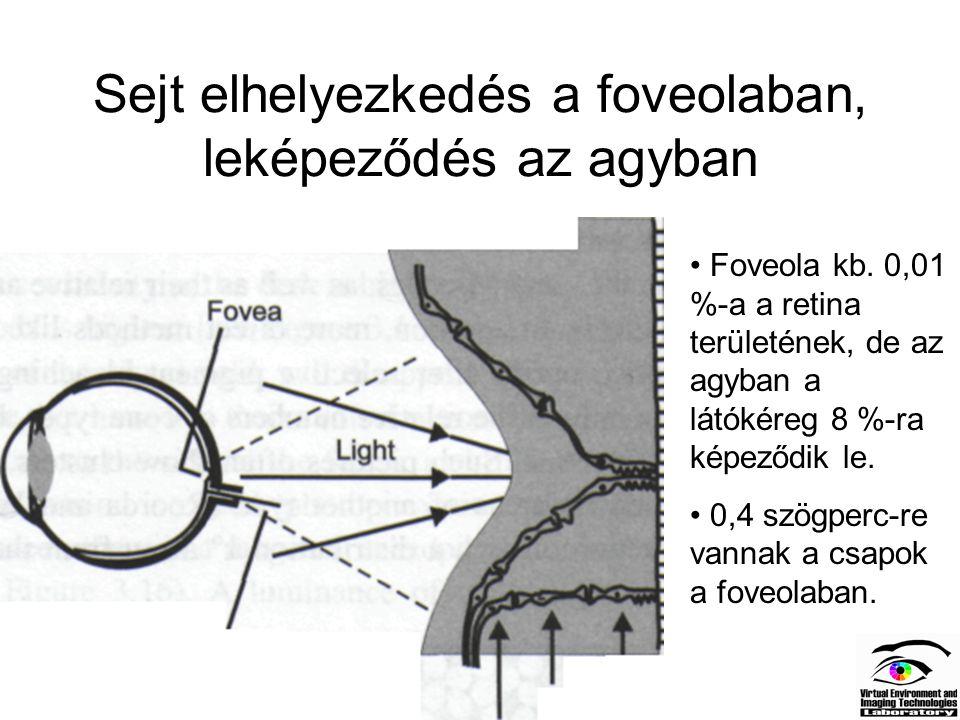 Sejt elhelyezkedés a foveolaban, leképeződés az agyban Foveola kb. 0,01 %-a a retina területének, de az agyban a látókéreg 8 %-ra képeződik le. 0,4 sz