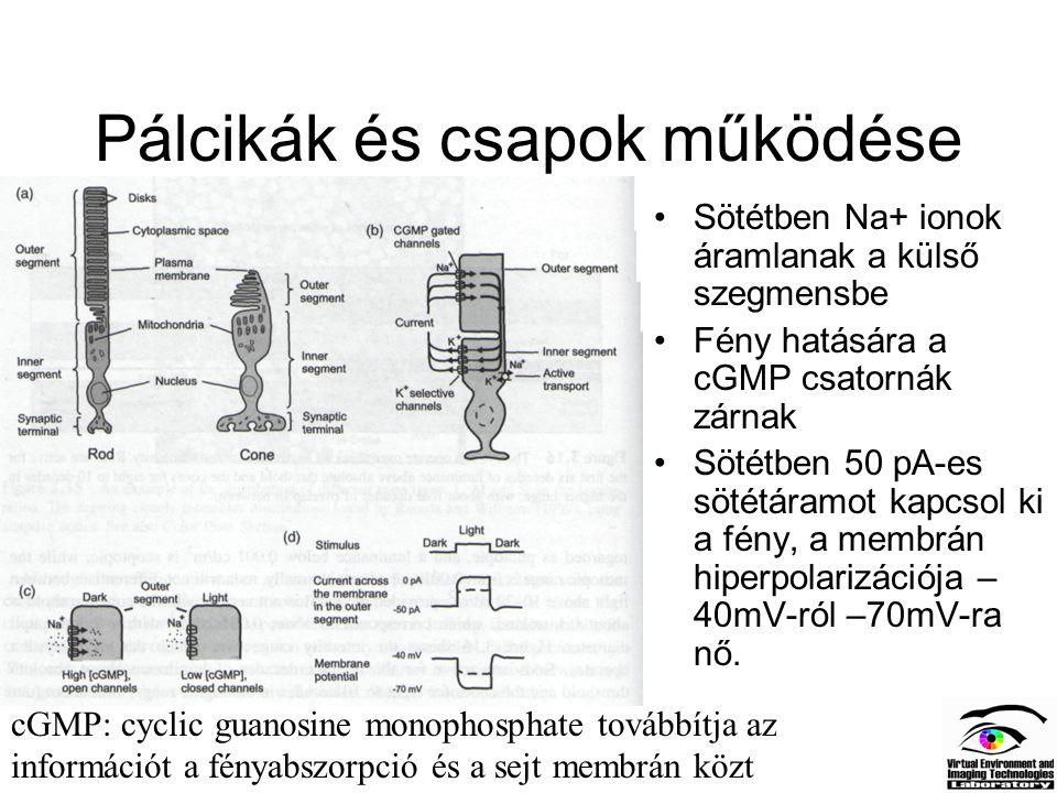 Pálcikák és csapok működése Sötétben Na+ ionok áramlanak a külső szegmensbe Fény hatására a cGMP csatornák zárnak Sötétben 50 pA-es sötétáramot kapcso