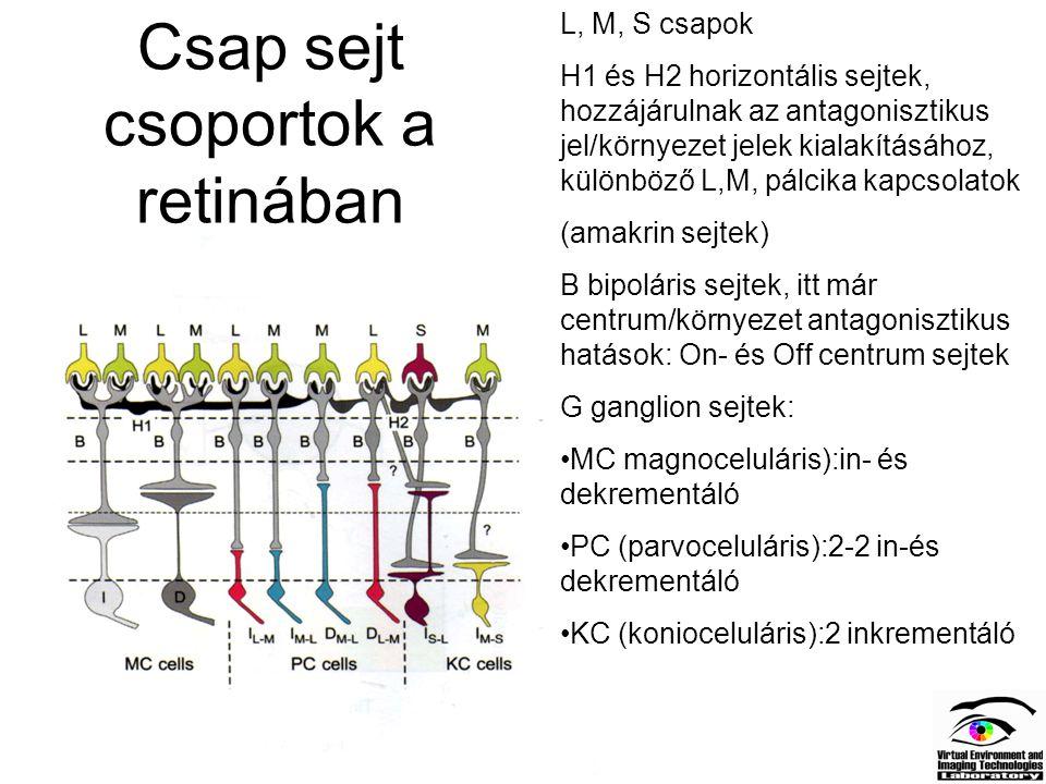 Csap sejt csoportok a retinában L, M, S csapok H1 és H2 horizontális sejtek, hozzájárulnak az antagonisztikus jel/környezet jelek kialakításához, külö