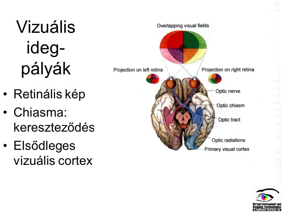 Vizuális ideg- pályák Retinális kép Chiasma: kereszteződés Elsődleges vizuális cortex