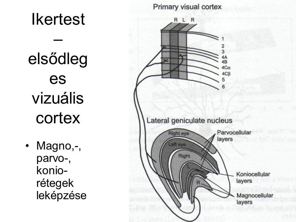 Ikertest – elsődleg es vizuális cortex Magno,-, parvo-, konio- rétegek leképzése