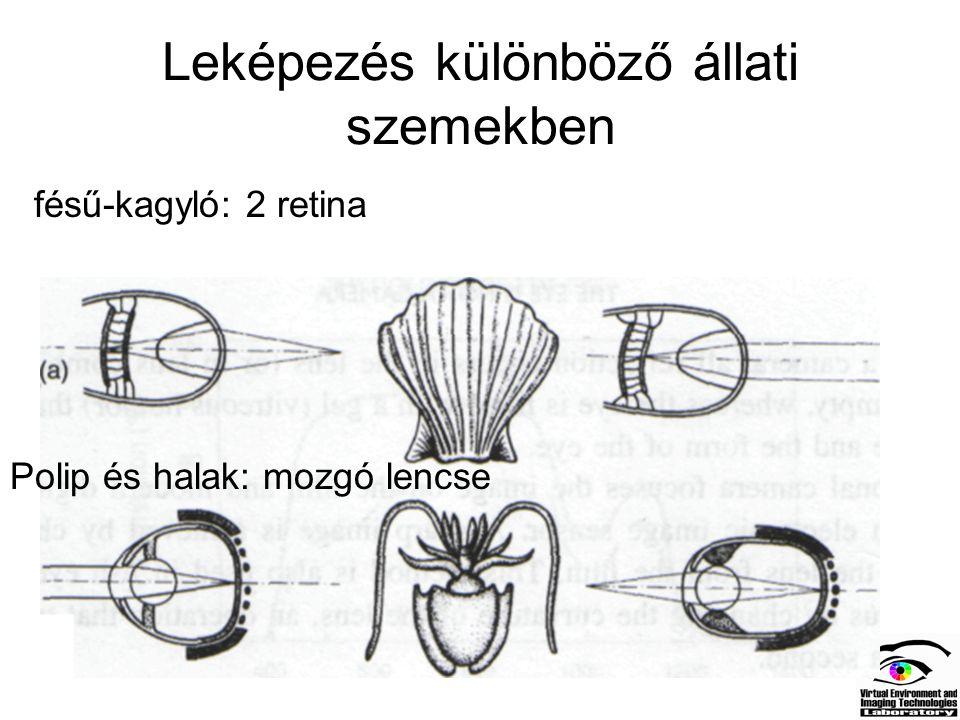Leképezés különböző állati szemekben Madarak: flexibilis lencse Főemlősök: görbületi sugarat is változtatják