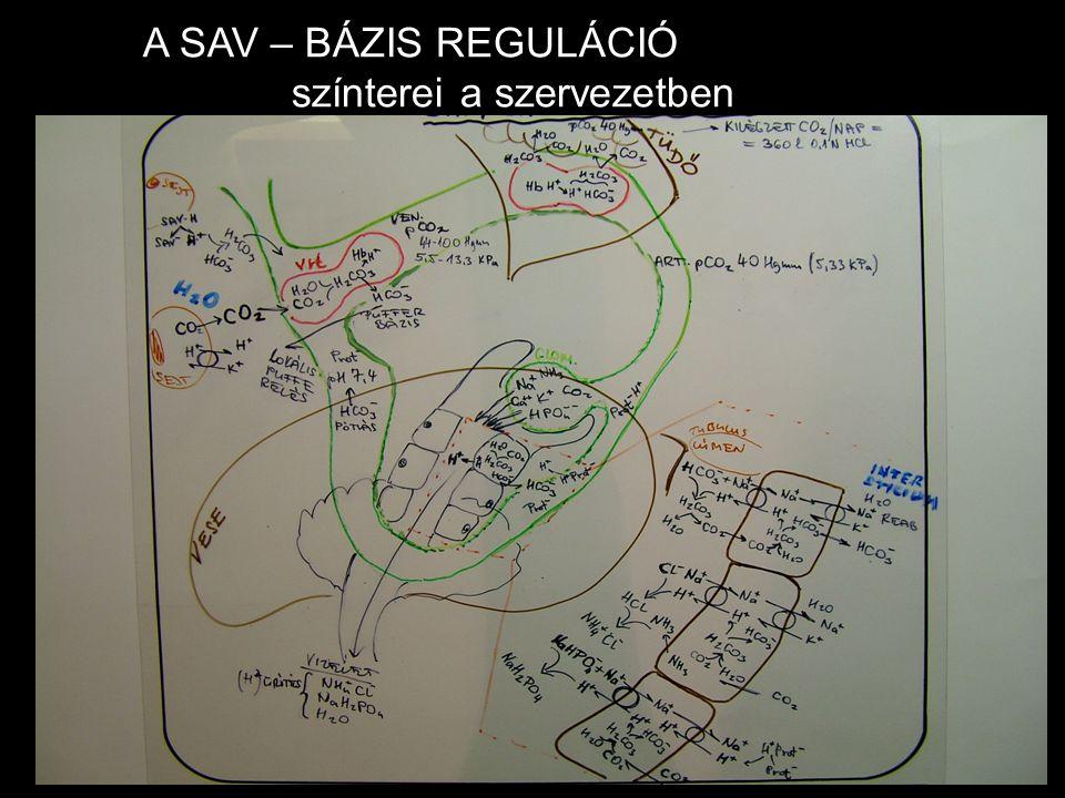 A SAV – BÁZIS REGULÁCIÓ színterei a szervezetben