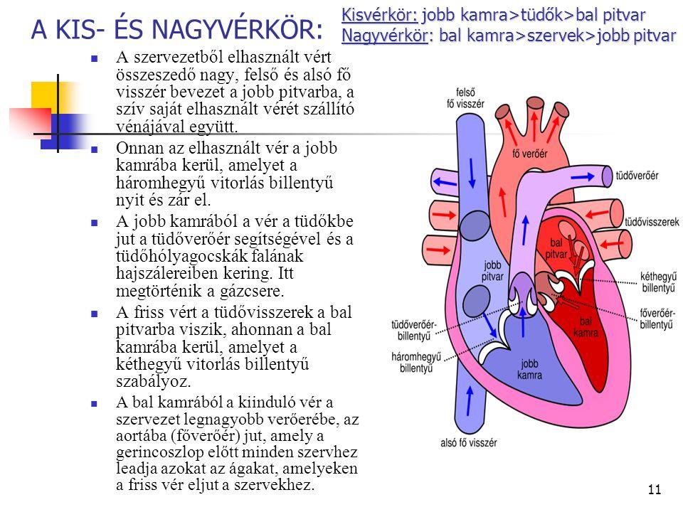11 A KIS- ÉS NAGYVÉRKÖR: A szervezetből elhasznált vért összeszedő nagy, felső és alsó fő visszér bevezet a jobb pitvarba, a szív saját elhasznált vér