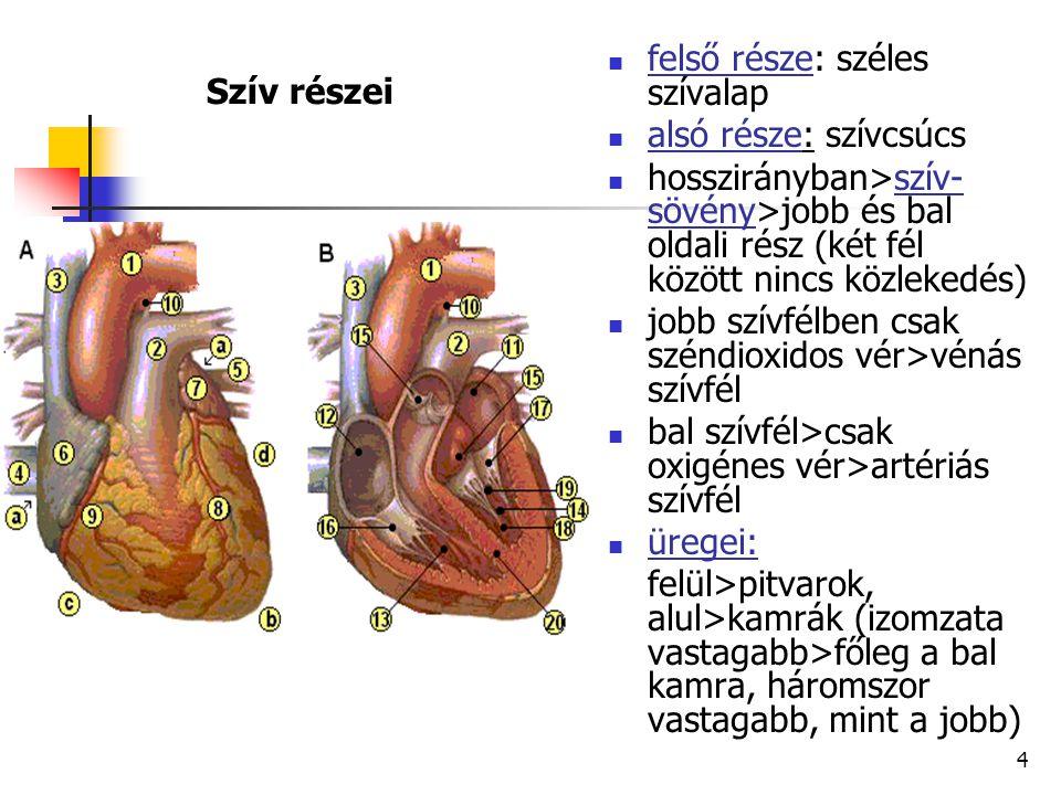 15 ARTÉRIÁK (verőerek, ütőerek): szív felől haladó erek (akármilyen vért is szállítanak); a szív összehúzódásai lüktetés formájában jelentkeznek rajtuk