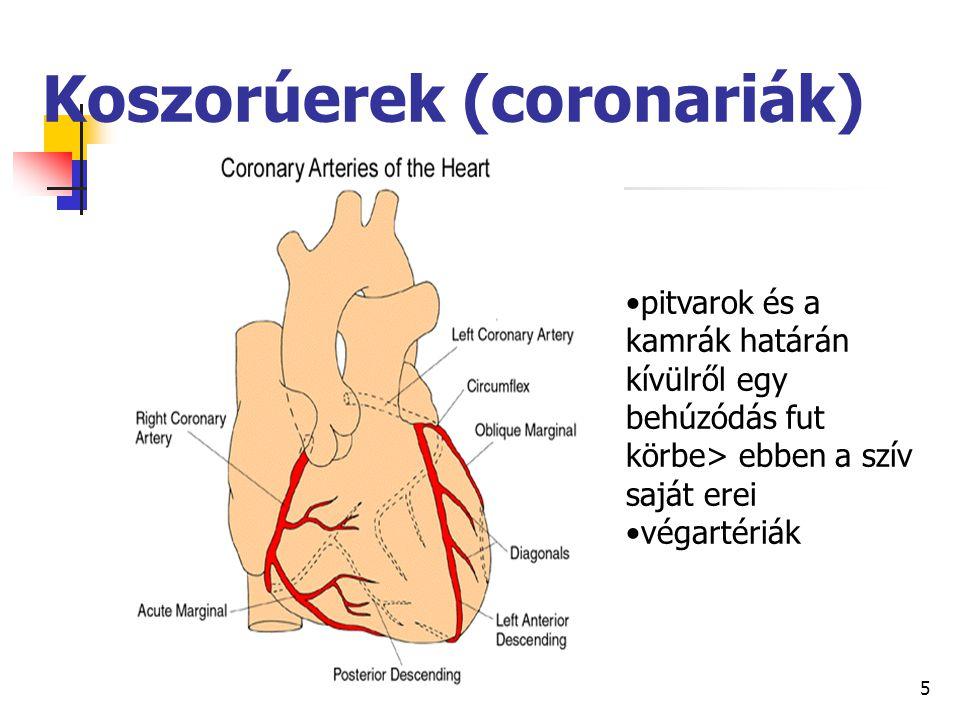 5 Koszorúerek (coronariák) pitvarok és a kamrák határán kívülről egy behúzódás fut körbe> ebben a szív saját erei végartériák