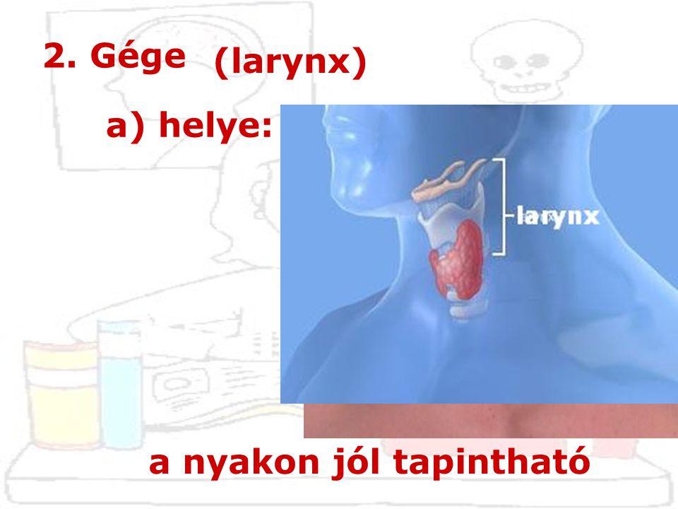 2. Gége (larynx) a) helye: a nyakon jól tapintható