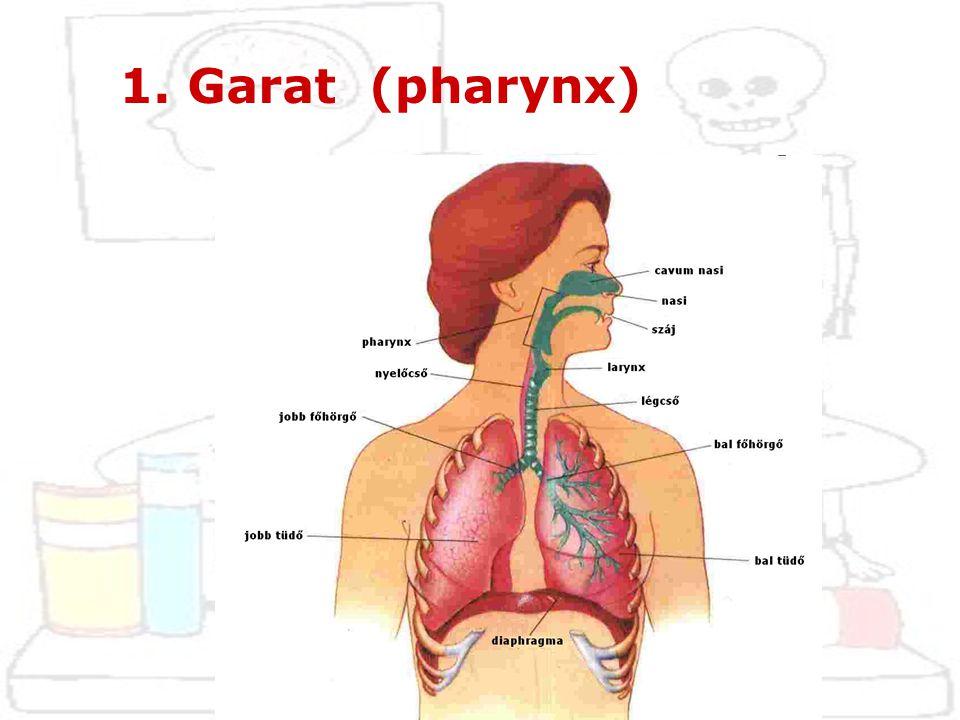 a) helye: az orr és a szájüreg mögött függőlegesen elhelyezkedő cső, mely felső végével a koponya alaphoz rögzül