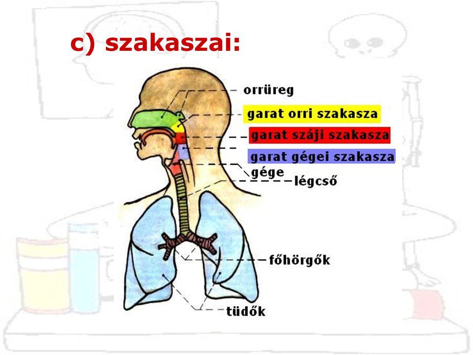 a pajzsporc és a gyűrűporc között kifeszülő szalag  légcsőmetszés (elsősegélynyújátskor átvágható)  conicotomia