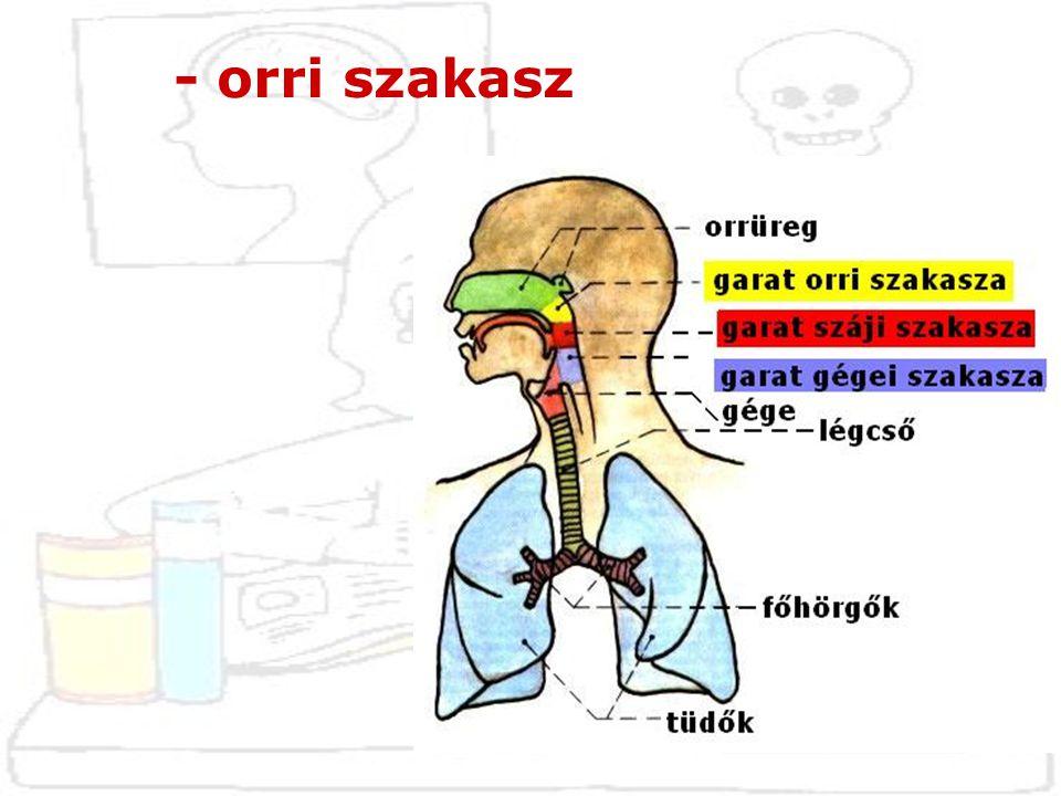 * ide vezet az orr üreg hátsó nyílása * ide nyílik a fülkürt (tuba auditiva)  nyomáskiegyenlítés * itt található az orrmandula (tonsilla pharingea)