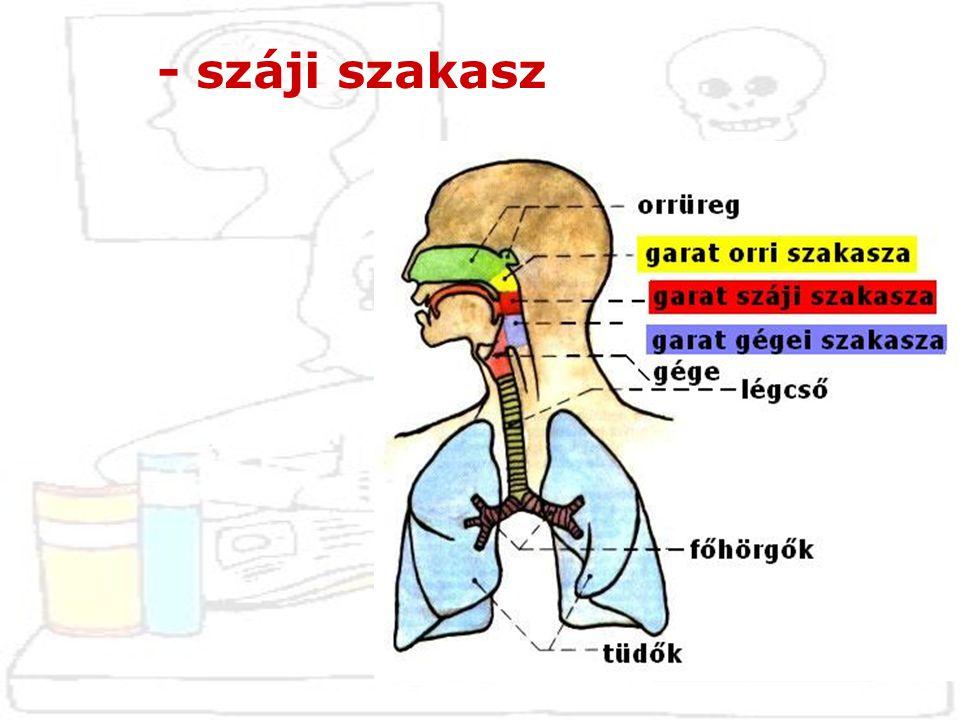 - száji szakasz