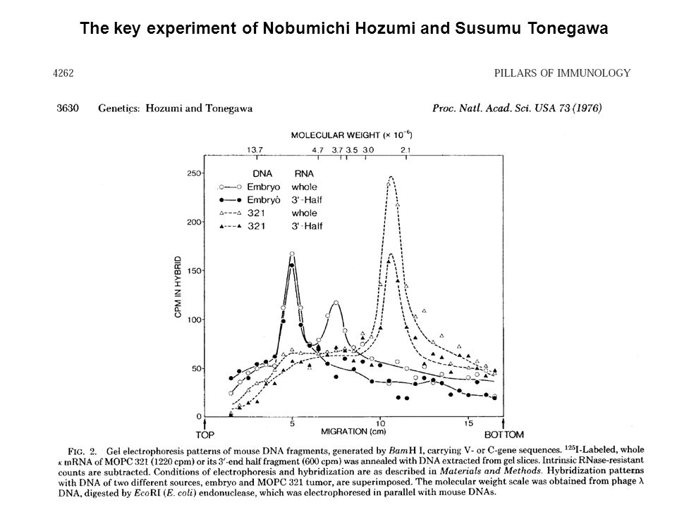 The key experiment of Nobumichi Hozumi and Susumu Tonegawa