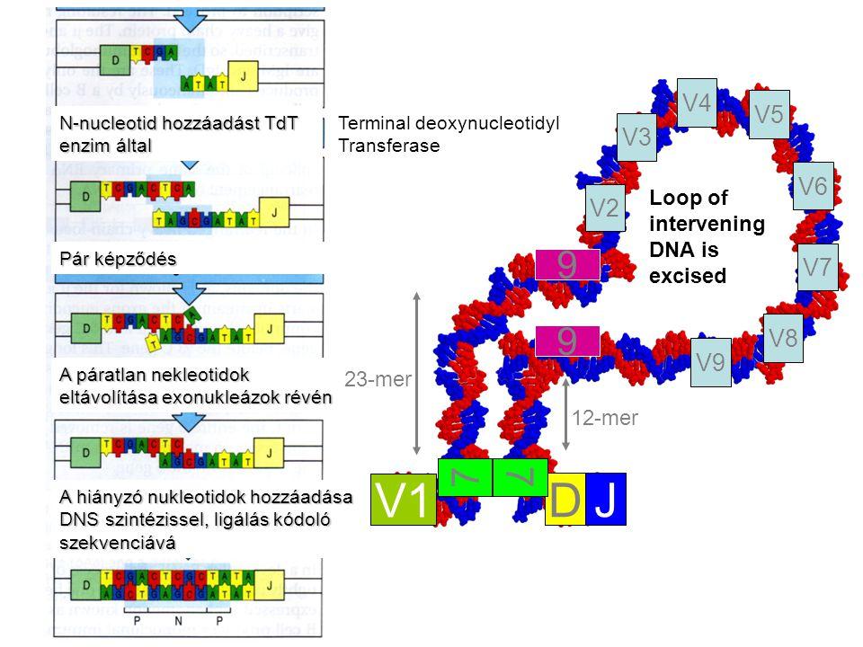 23-mer 12-mer Loop of intervening DNA is excised V1 DJ V2 V3 V4 V8 V7 V6 V5 V9 7 9 9 7 N-nucleotid hozzáadást TdT enzim által A páratlan nekleotidok eltávolítása exonukleázok révén A hiányzó nukleotidok hozzáadása DNS szintézissel, ligálás kódoló szekvenciává Pár képződés Terminal deoxynucleotidyl Transferase