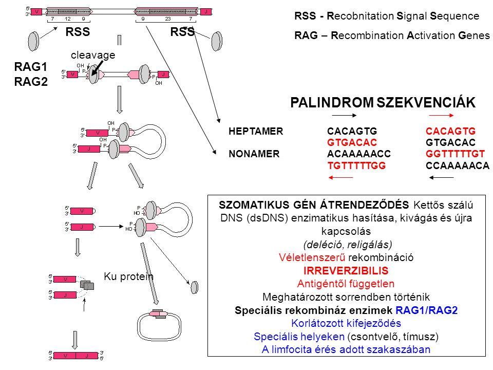 SZOMATIKUS GÉN ÁTRENDEZŐDÉS Kettős szálú DNS (dsDNS) enzimatikus hasítása, kivágás és újra kapcsolás (deléció, religálás) Véletlenszerű rekombináció IRREVERZIBILIS Antigéntől független Meghatározott sorrendben történik Speciális rekombináz enzimek RAG1/RAG2 Korlátozott kifejeződés Speciális helyeken (csontvelő, tímusz) A limfocita érés adott szakaszában RSS RSS - Recobnitation Signal Sequence RAG – Recombination Activation Genes RAG1 RAG2 cleavage Ku protein PALINDROM SZEKVENCIÁK HEPTAMERCACAGTGCACAGTGGTGACAC NONAMERACAAAAACCGGTTTTTGT TGTTTTTGGCCAAAAACA