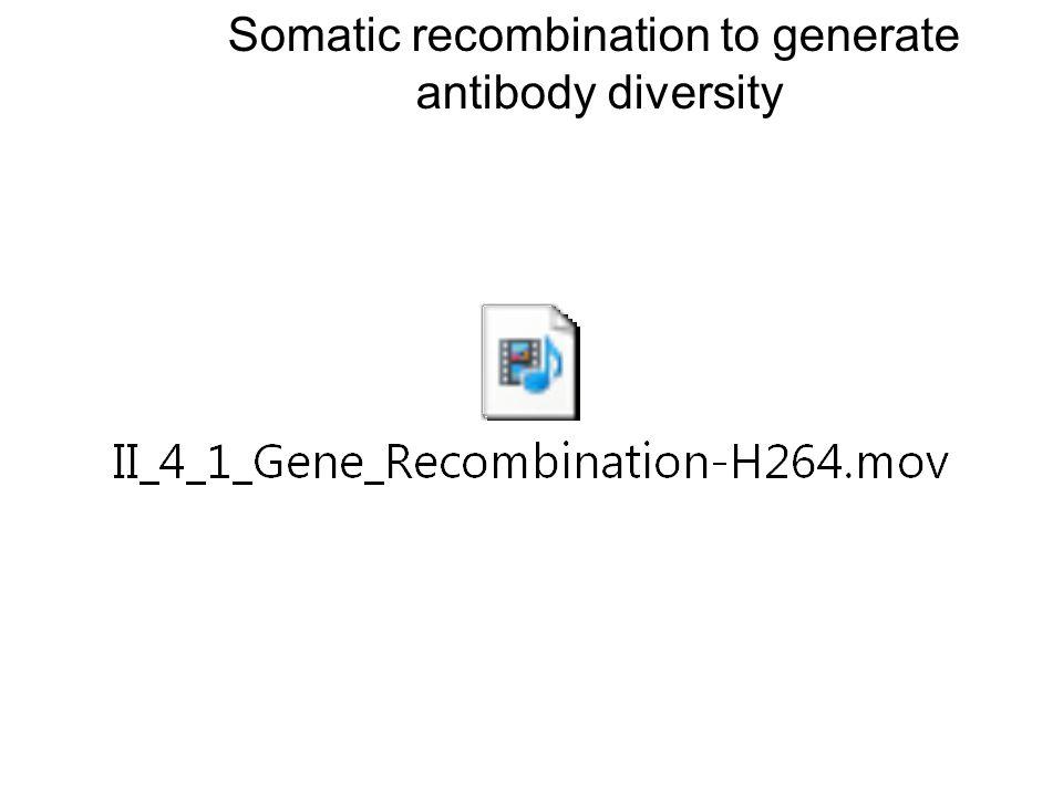 Somatic recombination to generate antibody diversity