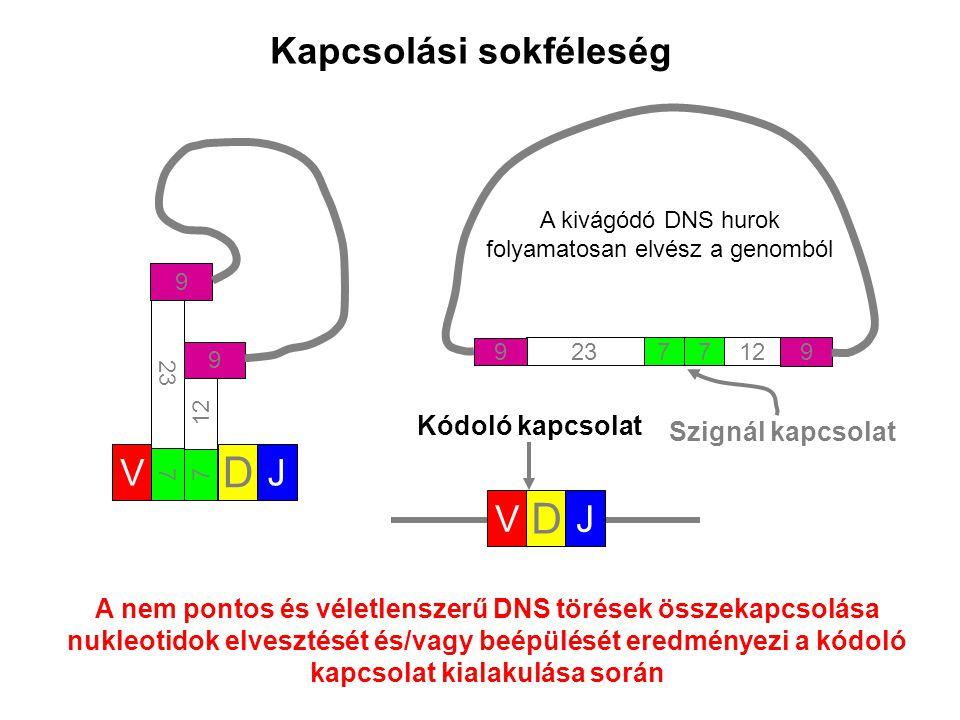 V D J 7 12 9 7 23 9 712 9 723 9 V D J A nem pontos és véletlenszerű DNS törések összekapcsolása nukleotidok elvesztését és/vagy beépülését eredményezi a kódoló kapcsolat kialakulása során Kapcsolási sokféleség A kivágódó DNS hurok folyamatosan elvész a genomból Szignál kapcsolat Kódoló kapcsolat