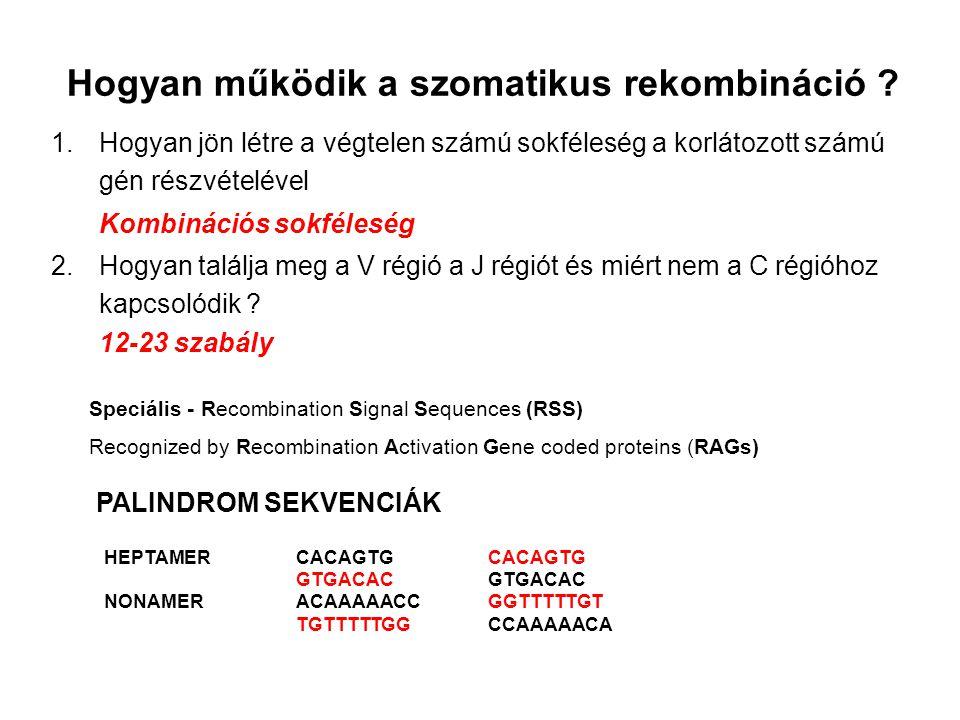 23-mer = két fordulat 12-mer = egy fordulat A 12-23 szabály molekuláris magyarázata Rekombinációs szignál szekvenciák RSS Közbeeső, bármely hosszúságú DNS 23 V 97 12 DJ7 9 HeptamerNonamerHeptamerNonamer