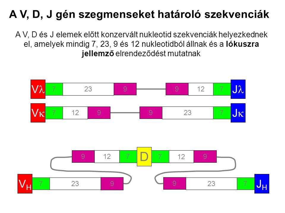 A V, D, J gén szegmenseket határoló szekvenciák V 723 9 A V, D és J elemek előtt konzervált nukleotid szekvenciák helyezkednek el, amelyek mindig 7, 23, 9 és 12 nukleotidból állnak és a lókuszra jellemző elrendeződést mutatnak VV 712 9 JJ 723 9 J 712 9 D 7 9 7 9 VHVH 723 9 JHJH 7 9