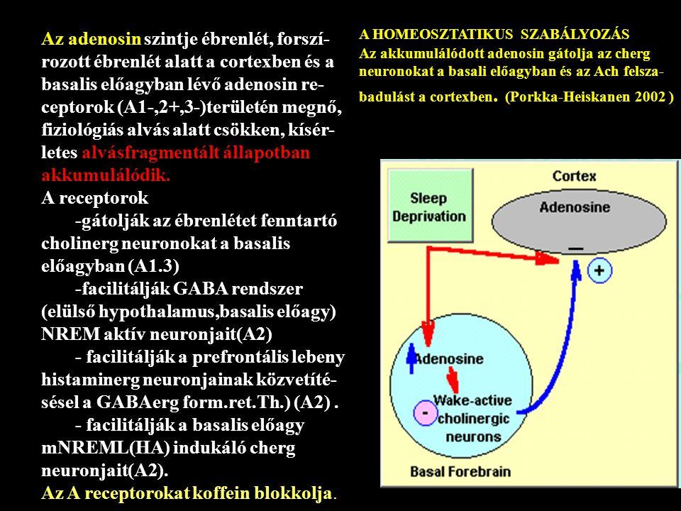 Az adenosin szintje ébrenlét, forszí- rozott ébrenlét alatt a cortexben és a basalis előagyban lévő adenosin re- ceptorok (A1-,2+,3-)területén megnő, fiziológiás alvás alatt csökken, kísér- letes alvásfragmentált állapotban akkumulálódik.