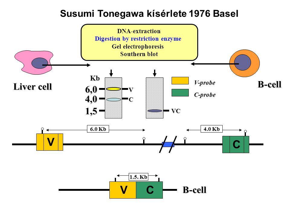 Liver cell B-cell 1.5. Kb B-cell V C 6.0 Kb V C 4.0 Kb DNA-extraction Digestion by restriction enzyme Gel electrophoresis Southern blot VCKb6,0 1,5 V-