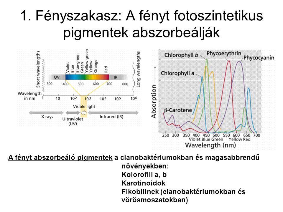 A klorofill fluoreszcenciája akkor is a vörös hullámhossz tartományba esik, ha kék fényt nyel el Ok: az S 2 -S 1 átmenet mindig hő formájában disszipálódik