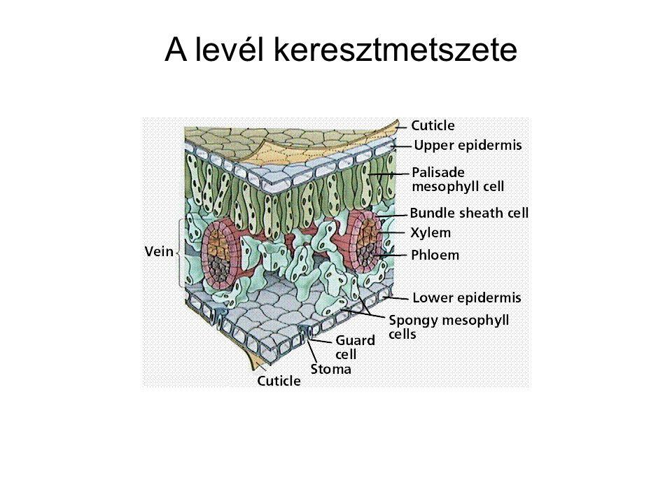 14-35b A kloroplasztisz szerkezete Kettős borítómembrán határolja Folyékony közege a sztróma –benne enzimek, keményítőszemcsék, DNS és riboszómák Membránrendszere tilakoidokból áll– ezek helyenként gránumokba rendeződik A tilakoidok belső üregei egy összefüggő, lumen nevezetű hálózatot alkotnak