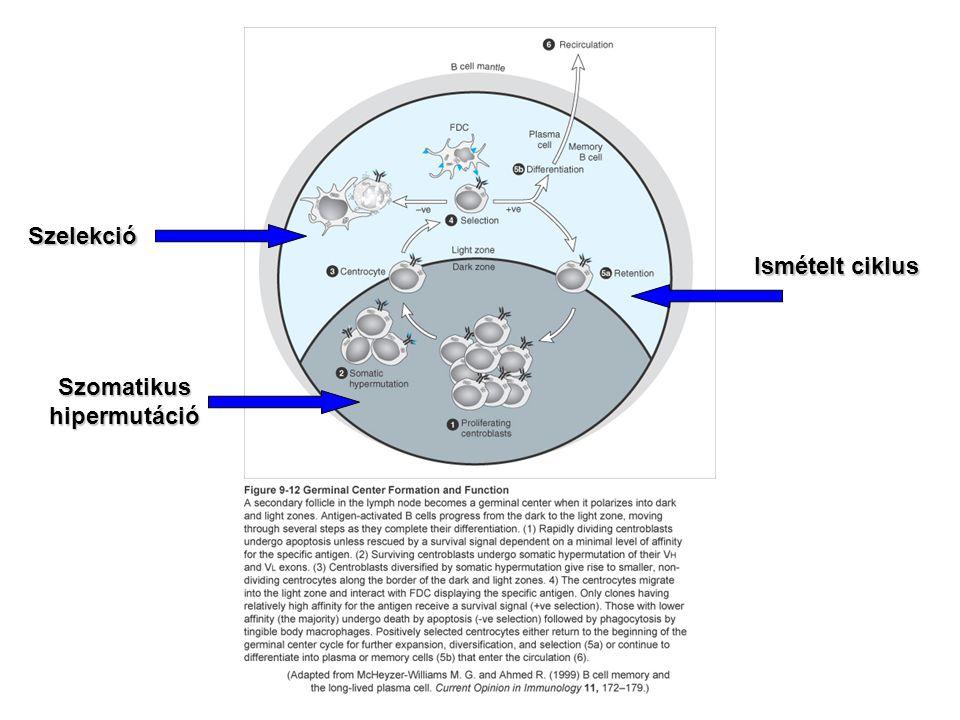 Szomatikus hipermutáció Szelekció Ismételt ciklus