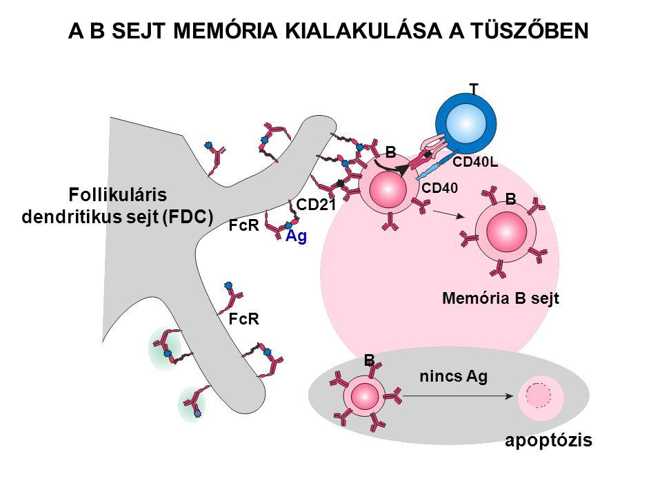 B B Memória B sejt B apoptózis T CD40 CD40L Follikuláris dendritikus sejt (FDC) FcR CD21 Ag FcR nincs Ag A B SEJT MEMÓRIA KIALAKULÁSA A TÜSZŐBEN