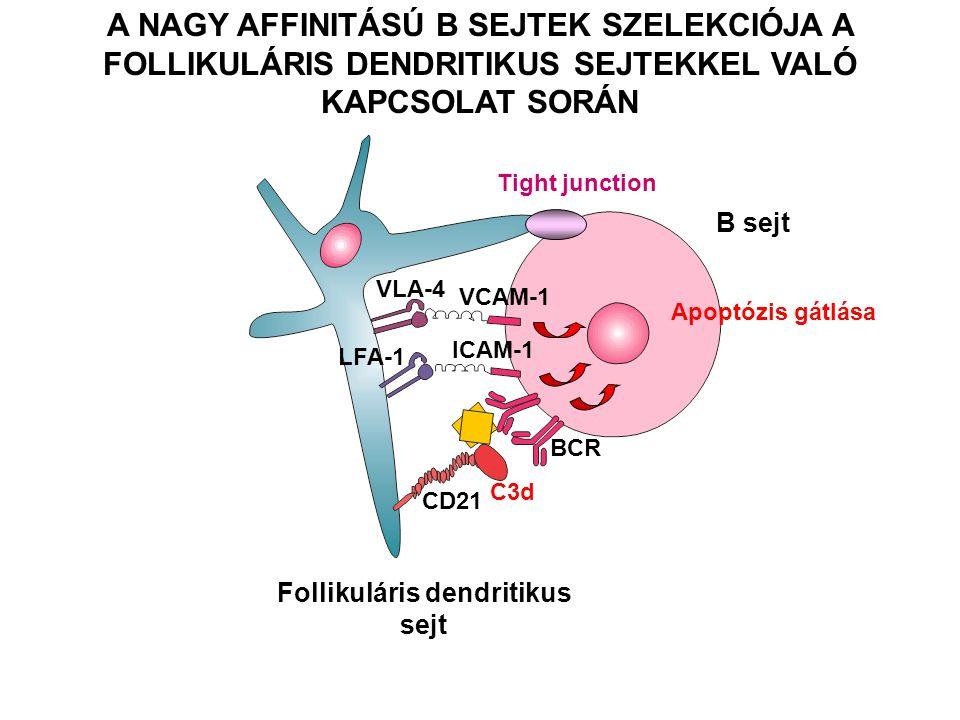 Follikuláris dendritikus sejt B sejt A NAGY AFFINITÁSÚ B SEJTEK SZELEKCIÓJA A FOLLIKULÁRIS DENDRITIKUS SEJTEKKEL VALÓ KAPCSOLAT SORÁN VLA-4 LFA-1 VCAM-1 ICAM-1 BCR CD21 C3d Apoptózis gátlása Tight junction