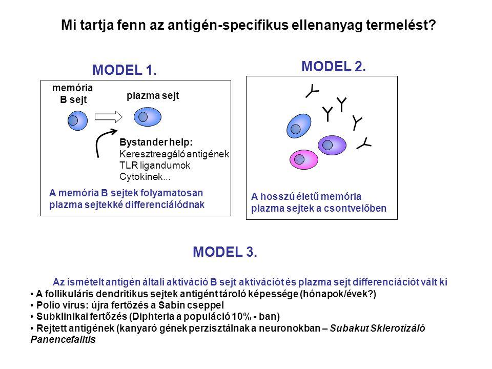 Az ismételt antigén általi aktiváció B sejt aktivációt és plazma sejt differenciációt vált ki A follikuláris dendritikus sejtek antigént tároló képessége (hónapok/évek?) Polio virus: újra fertőzés a Sabin cseppel Subklinikai fertőzés (Diphteria a populáció 10% - ban) Rejtett antigének (kanyaró gének perzisztálnak a neuronokban – Subakut Sklerotizáló Panencefalitis Bystander help: Keresztreagáló antigének TLR ligandumok Cytokinek...