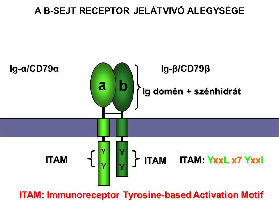 Ig-α/CD79α Ig-β/CD79β ITAM: Immunoreceptor Tyrosine-based Activation Motif a b Y Y Y Y ITAM ITAM Ig domén + szénhidrát A B-SEJT RECEPTOR JELÁTVIVŐ ALEGYSÉGE ITAM: YxxL x7 YxxI