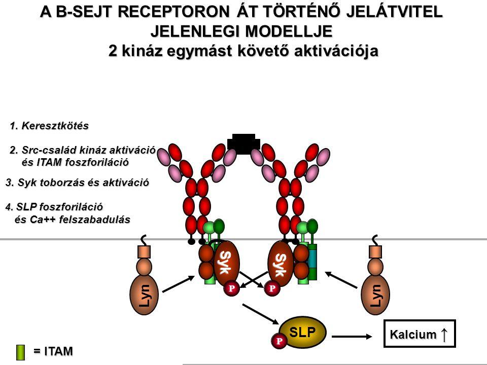 Ag A B-SEJT RECEPTORON ÁT TÖRTÉNŐ JELÁTVITEL JELENLEGI MODELLJE 2 kináz egymást követő aktivációja = ITAM 1. Keresztkötés Lyn 2. Src-család kináz akti