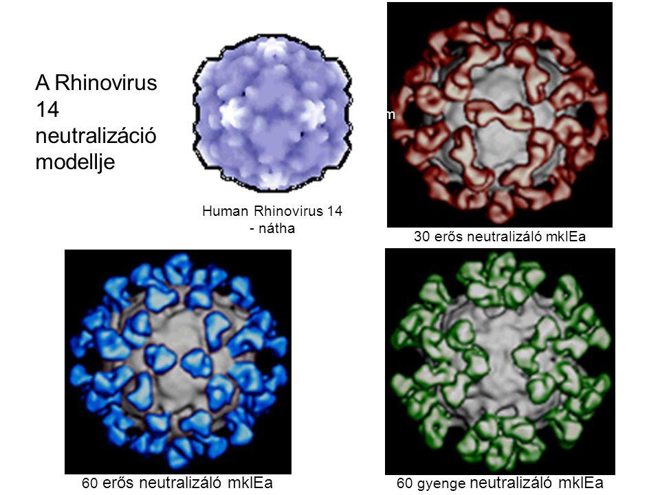 30 erős neutralizáló mklEa 60 erős neutralizáló mklEa 60 gyenge neutralizáló mklEa Human Rhinovirus 14 - nátha 30nm A Rhinovirus 14 neutralizáció mode
