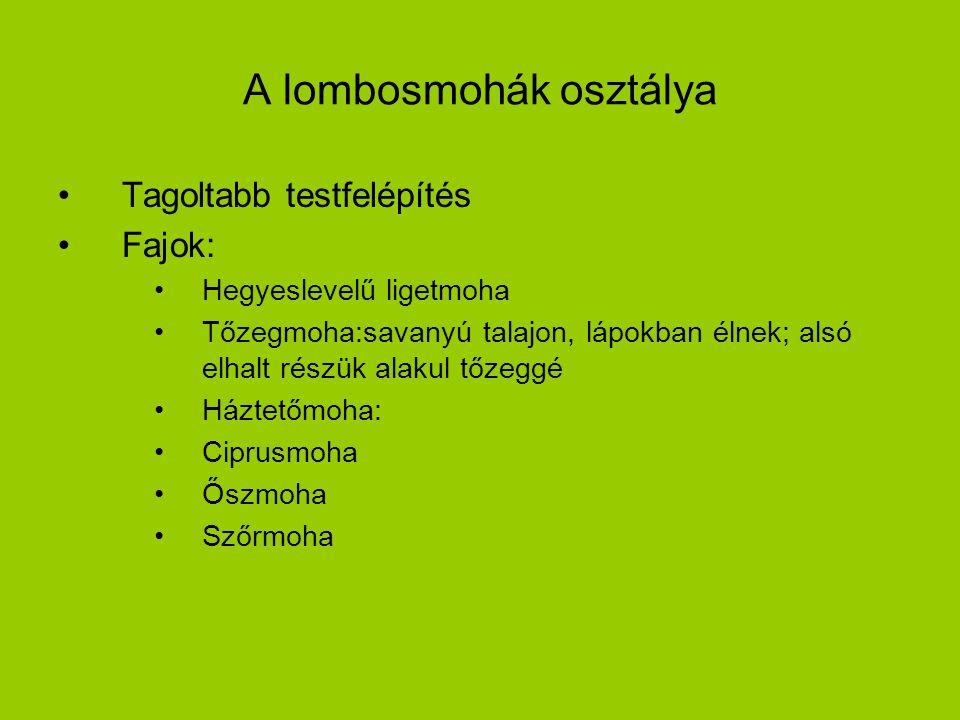 A lombosmohák osztálya Tagoltabb testfelépítés Fajok: Hegyeslevelű ligetmoha Tőzegmoha:savanyú talajon, lápokban élnek; alsó elhalt részük alakul tőze
